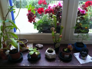 Carnivorous plants on the windowsill