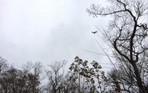 A short-tailed hawk