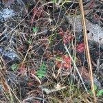 Drosera (Sundew) in the wild